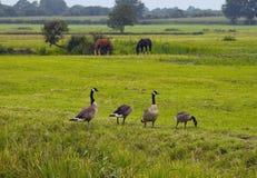 De ganzen van Canada op het Gebied stock afbeeldingen