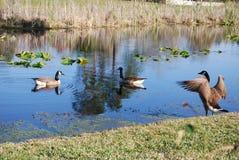 De ganzen van Canada op het meer stock foto