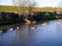 De ganzen van Canada op rivier Stock Foto
