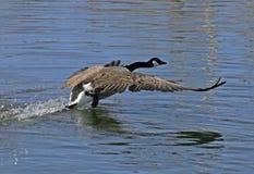 De ganzen van Canada tijdens de vlucht Royalty-vrije Stock Foto's