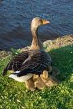 De ganzen van de baby onder de vleugel van het mamma Royalty-vrije Stock Fotografie