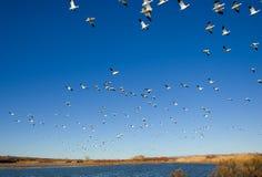 De ganzen van de sneeuw Stock Foto's