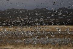 De Ganzen van de sneeuw in Bosque Del Apache NM stock afbeelding