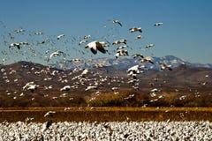De Ganzen van de sneeuw tijdens de vlucht Stock Afbeelding