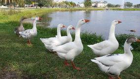 De ganzen van Melbourne van de binnenstad Florida Stock Foto's