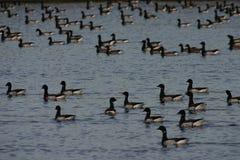 De ganzen van zwarte gans royalty-vrije stock afbeelding