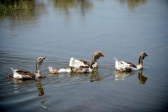 De ganzen zwemmen in een rustieke vijver Stock Foto's