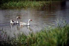 De ganzen zwemmen in een rustieke vijver in de zomer Stock Afbeeldingen