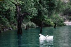 De ganzen zwemmen in het blauwe water van de Sulak-Rivier dichtbij de rotsachtige kust Sulakcanion, Dagestan stock fotografie