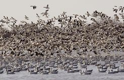 De ganzenmigratie 2 van de sneeuw wat lawaai Stock Fotografie