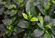 De gardenia jasminoides doorbladeren dicht omhoog royalty-vrije stock foto's