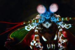 De Garnalen van pauwbidsprinkhanen Pulau Weh, Indonesië Stock Afbeelding