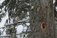 De gaten van de specht in een boom stock afbeelding