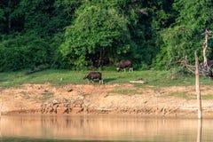 De Gaurfamilie eet gras in het bos door het meer Stock Foto