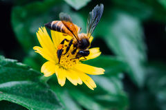 De Gaysornbijen zijn nectar van bloemen Bij op bloemen met weide groene achtergrond stock foto