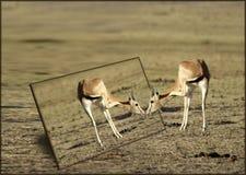 De Gazelle en de spiegel van de toelage Stock Foto