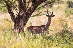 De Gazelle Gerenuk in de savanne van Kenia royalty-vrije stock foto's