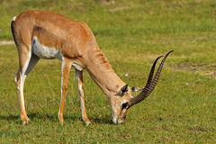 De gazelle groot-gehoornd mannetje van de toelage Stock Foto's