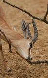 De gazelle van Dorcas Stock Afbeelding