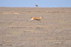 De gazelle van een vrouwelijke Thomson (thomsoni Eudorcas) Stock Fotografie