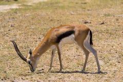 De Gazelle van mannelijke Thomson Royalty-vrije Stock Foto