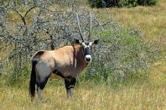 De gazelle van Oryx Royalty-vrije Stock Foto's