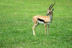 De Gazelle van Thompson royalty-vrije stock fotografie