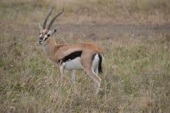 De gazelle van Thomson Stock Afbeelding