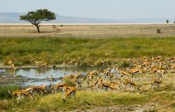 De gazelles van Thompson Stock Afbeeldingen