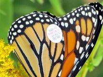 De geëtiketteerde vleugel van Toronto Meer van Monarchvlinder 2014 Stock Afbeelding