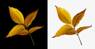 De geïsoleerde bladeren van de de herfstboom in gele kleur Royalty-vrije Stock Afbeelding