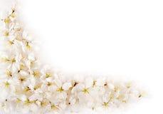 De geïsoleerde bloemblaadjes van de kersenbloesem Stock Foto