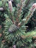 De ge?soleerde groene kegel van het pijnboomzaad met groene naaldbladeren royalty-vrije stock afbeelding