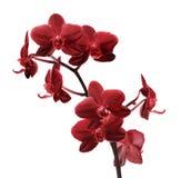 De geïsoleerde heldere rode tak van de orchideebloem Royalty-vrije Stock Foto's