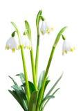 De geïsoleerde Leucojum-bloemen van de sneeuwklokjes eerste witte lente stock fotografie