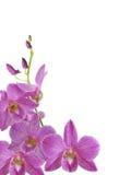 De geïsoleerde purpere bloem van de dendrobiumorchidee met knoppenaar en witte achtergrond Royalty-vrije Stock Foto