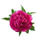 De geïsoleerde Roze Kleur van de Pioenbloem Royalty-vrije Stock Afbeeldingen