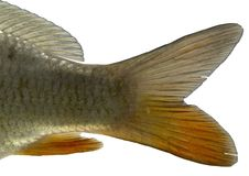 De geïsoleerde staart van vissen - Stock Afbeeldingen