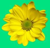 De geïsoleerde3 gele bloemen van de Chrysant Stock Afbeelding