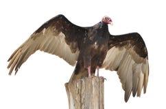 De geïsoleerdea gier van Turkije op houten boomstam royalty-vrije stock foto