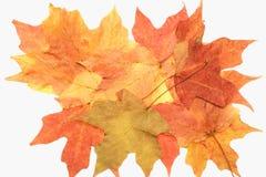 De geïsoleerded bladeren van de de herfstesdoorn stock foto