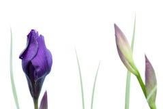 De geïsoleerdee Bloem van de Iris Stock Foto's