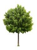 De geïsoleerdee boom van de Esdoorn Royalty-vrije Stock Afbeelding