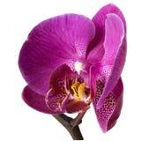 De geïsoleerdeg bloem van de orchidee, het knippen beschikbare weg Stock Afbeeldingen