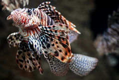 De geïsoleerden Vissen van de Leeuw stock afbeeldingen