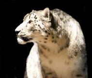 De geïsoleerdev luipaard van de sneeuw - Stock Fotografie