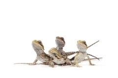 De Gebaarde Draken van de baby Royalty-vrije Stock Foto's