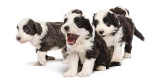De gebaarde puppy van de Collie, 6 weken oud, het zitten Stock Fotografie