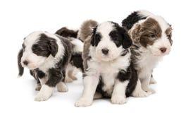 De gebaarde puppy van de Collie, 6 weken oud, het zitten Royalty-vrije Stock Foto