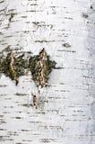 De gebarsten textuur van de berkeschorsoppervlakte Stock Foto's